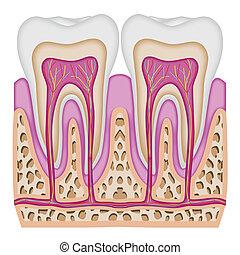 den, genomskärning, av, den, tand