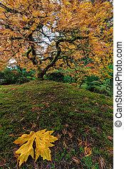 den, japansk ahorn træ, ind, efterår, 2016