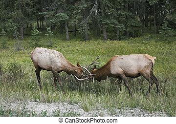 den, konflikt, mellan, två, deers.