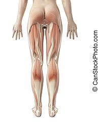 den, kvinnlig, ben, muskulatur