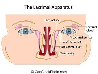 den, lacrimal, apparatur, eps10