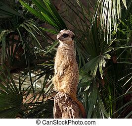 den, meerkat, eller, suricate, (suricata, suricatta), a, liten, däggdjur, är, a, medlem, av, den, mungo, familj