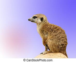 den, meerkat, eller, suricate, (suricata, suricatta), a, liten, däggdjur, är, a, medlem, av, den, mungo, family., zoo, moskva, ryssland