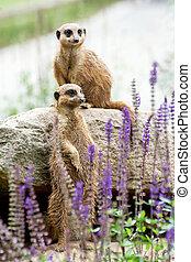 den, meerkat, eller, suricate, (suricata, suricatta)