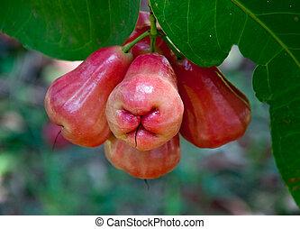 den, ro, äpple, på, träd, in, trädgård