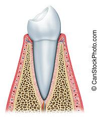 den, sunde, tand
