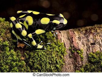 Dendrobates auratus, a poison dart frog - Poison arrow frog,...