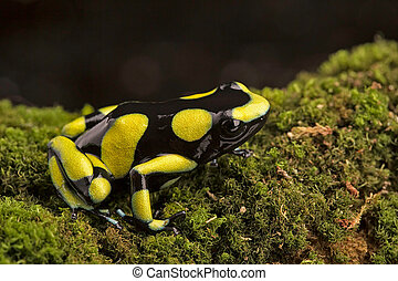 Dendrobates auratus, a poison dart frog - Tropical poison...