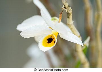 Dendrobium bensoniae, Orchidaceae, Cambodia, Thailand,...