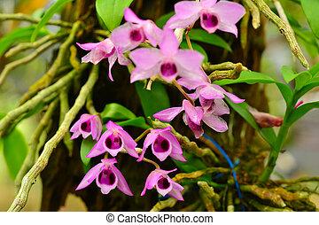 dendrobium, nom, sauvage, orchidée, parishi