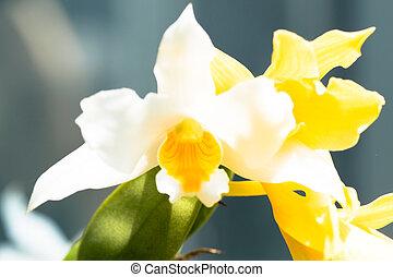 Dendrobium roseiodorum, Orchidaceae, Vietnum