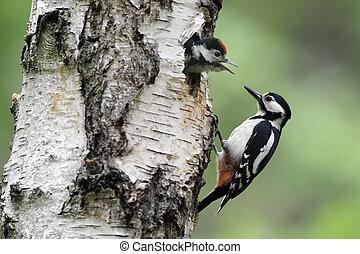 dendrocopos, great-spotted, pájaro carpintero, mayor