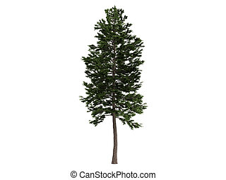 dennenboom, of, pinus, sylvestris
