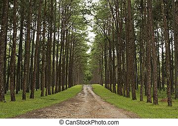dennenboom, plantages