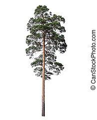 dennenboom, vrijstaand, op wit