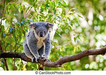 dens, naturlig, australier, gumtrees, habitat, koala