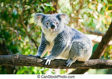 dens, naturlig, söt, gumtrees, habitat, koala