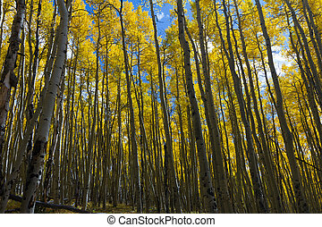 Dense Aspen Forest in Colorado in Fall