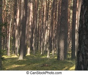 Dense coniferous forest. Pine tree trunks and tops in the sky.