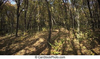 Dense Deciduous Trees in Autumn Forest Wilderness - Dense...