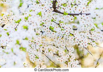dense flowers of cherry wood in the morning light