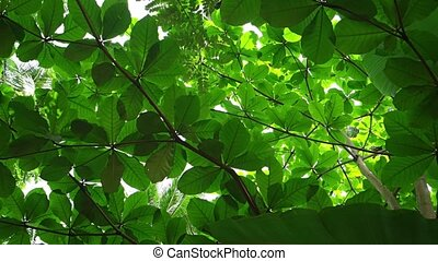 Dense Foliage of a Tropical Tree. Video 1080p FullHD - Dense...