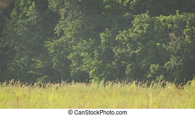 Dense Forest at the Edge of a Natural Meadow. UltraHD 4k ...