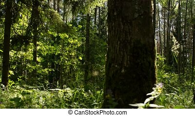 Dense forest. Forest in sunny weather.. Forest, nature,...