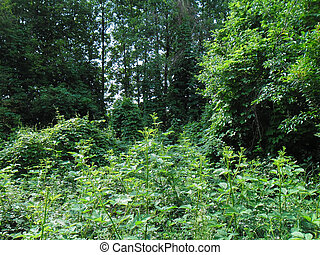 The dense forest thicket in the summer. Decidous forest.