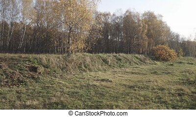 Dense grass and birch trees at the edge of the forest