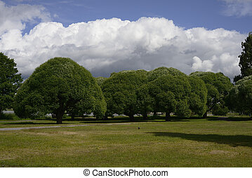 dense green crowns of trees in the park