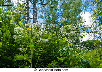 dense, hogweed., thickets