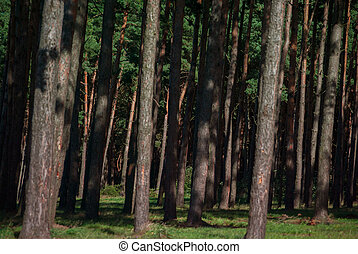 dense pine forest closeup