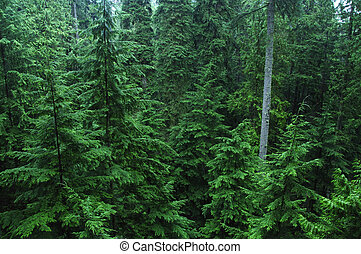 Dense pine forest - Dense cedar rainforest of the Pacific...