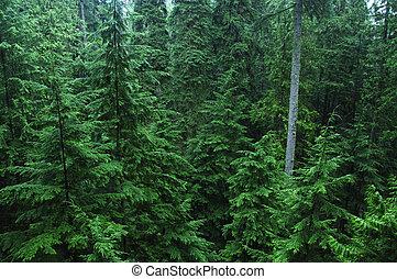 Dense pine forest - Dense cedar rainforest of the Pacific...
