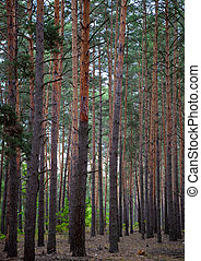 Dense pine forest. Trunks of ship pines. Tall conifers. Forest of Carpathian mountains. Background of trees. Pattern. Natural landscape. Beautiful brown tree. Outdoor.