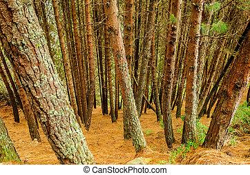 Dense Pine Tree Forest