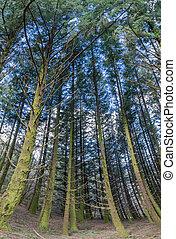 Dense pine tree woods