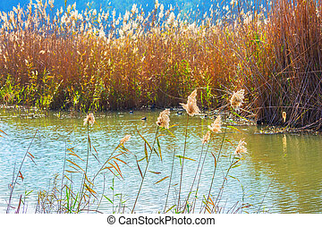 Dense thickets of grass. Hula Nature Reserve, Israel,...