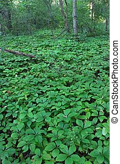 Dense understory vegetation covers the forest floor at Rock Cut State Park in Illinois.