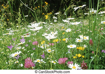 dense vegetation - ox-eye daisies, harebell flowers,...
