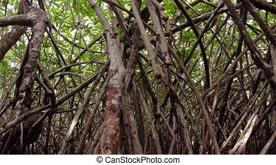 Densely Packed Mangrove Forest in Sri Lanka. FullHD 1080p...