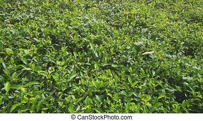 Densely Planted Tea Bushes on Sri Lankan Farm - Many tea...
