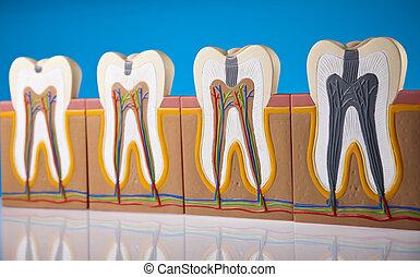 dent, anatomie