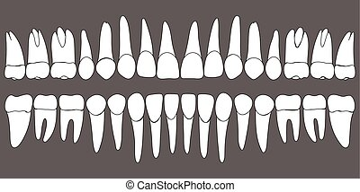 dentaire, ensemble, gabarit, dents humaines