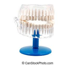dentaire, modèle