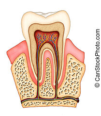 Dental anatomy - Section of a molar showing its internal...