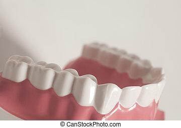 Dental human teeth model