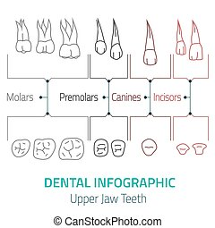 dental, infographic, vektor