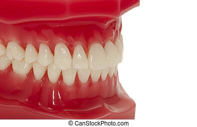 Teeth - Dental Model of Teeth